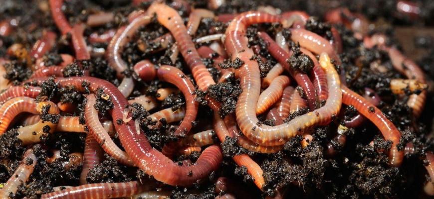 Разведение червей для рыбалке