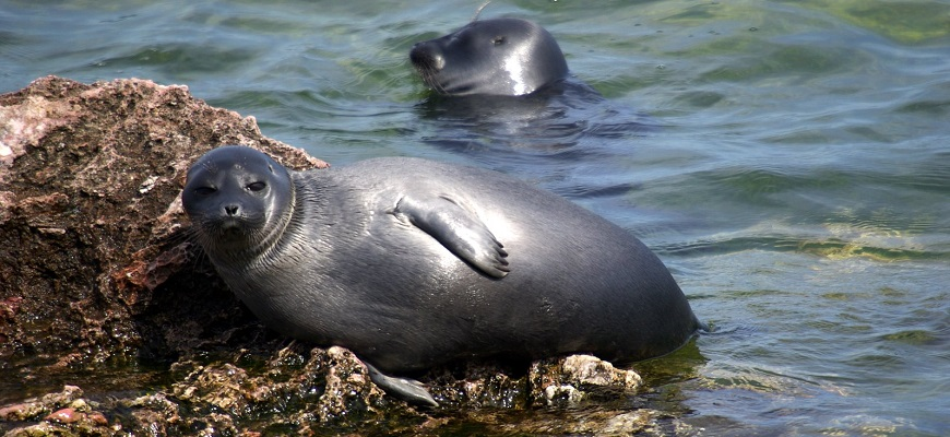 Тюлень байкальский